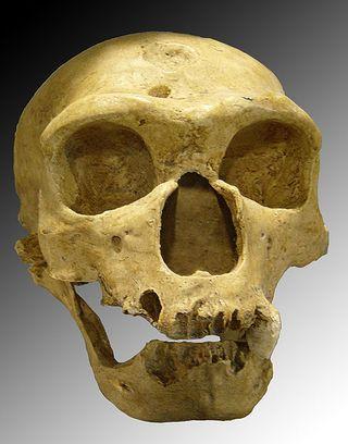 470px-Homo_sapiens_neanderthalensis