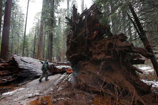 Pioneer cabin tree 2