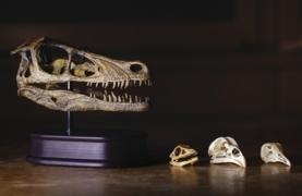 Dinosaur and bird skulls