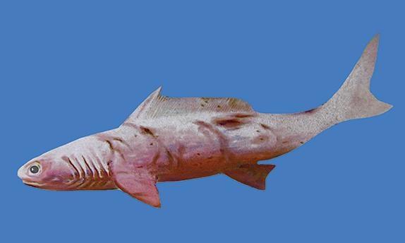 Shark missing link
