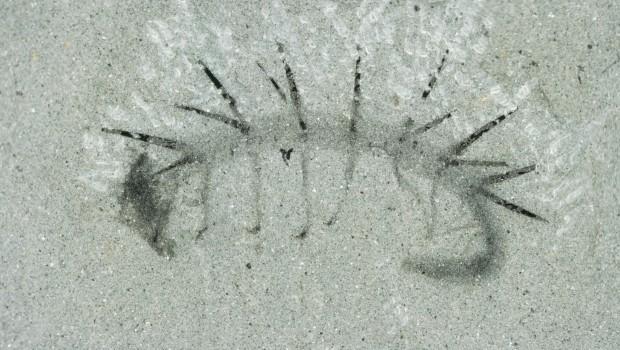 Hallucigenia-fossil-NMNH-198658-620x350