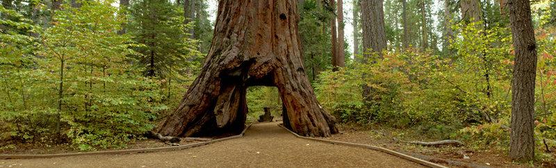 Pioneer cabin tree 3