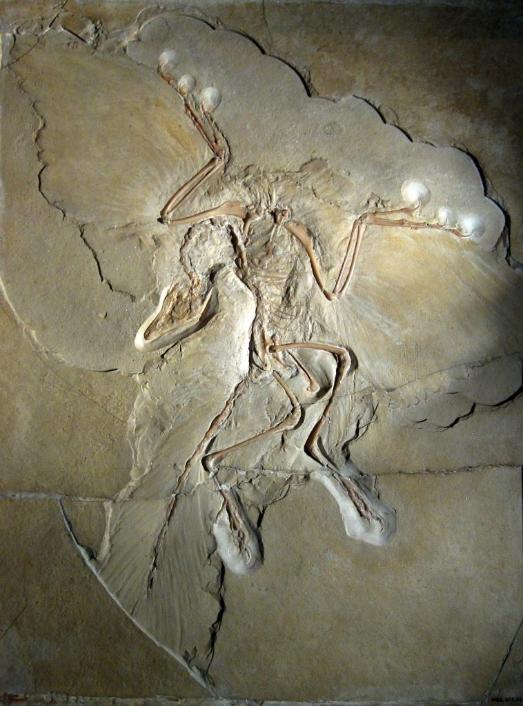 Archaeopteryx_lithographica_Berlin_specimen-758x1024