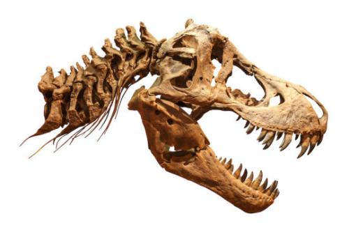 Trex-skull