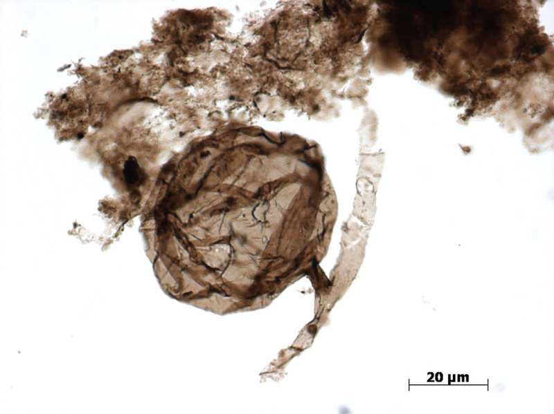 Billion-year-old-fungus-microfossils