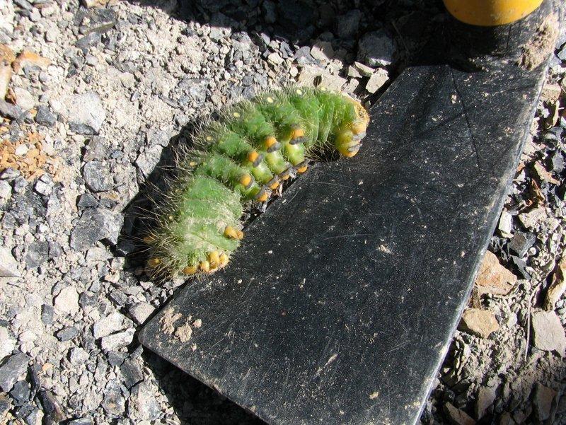 29. A.Young  ESCONI Braceville field trip  9-14-19  Imperial Moth caterpillar