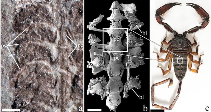 Oldest scorpion
