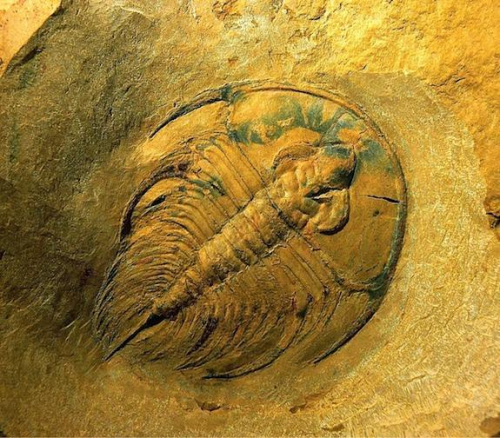 Trilobite-olenellus-nevadensis_full_610