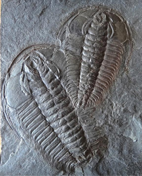 Trilobite-redlichia-chinensis_full_610