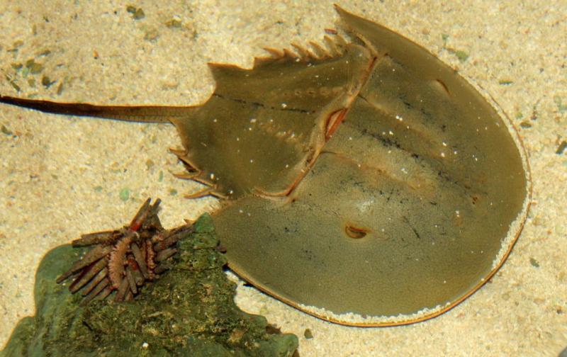 Horseshoe-crab-347245_1920-1024x645