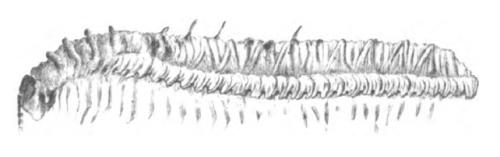 Euphoberia_spinulosa