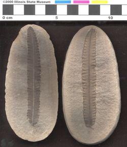 Langford - Ptychocarpus 1