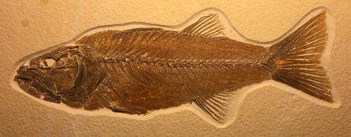 Mioplosus