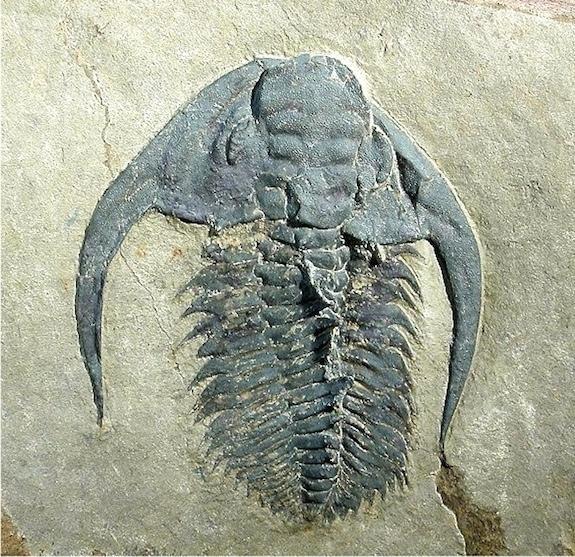 Trilobite-esmeraldina-sp_full_610