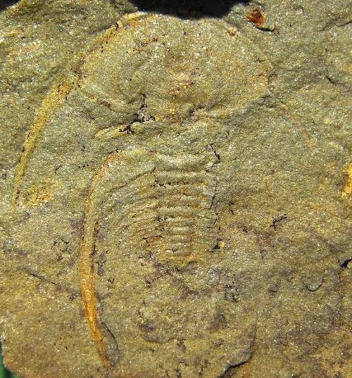 Trilobite-fallotaspis-longa_full_610