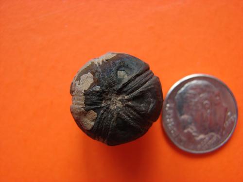 Granatocrinus kentuckyensis