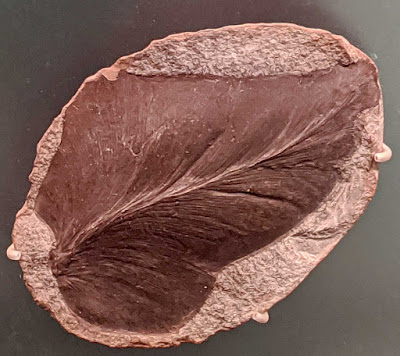 Neuropteris-inflata-seed-fern-fossil-carboniferous-period-mazon-creek-illinois-USA--displayed-Field-Museum-of-Natural-History-chicago-illinois-usa-august-2020