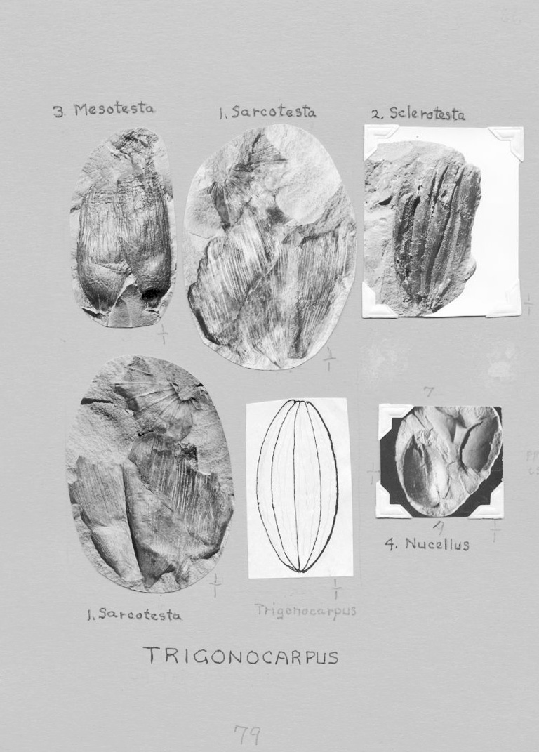 GL079TrigonocarpusCB