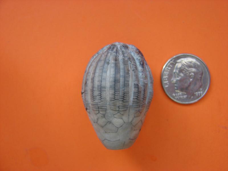 Eucalyptocrinites crassus