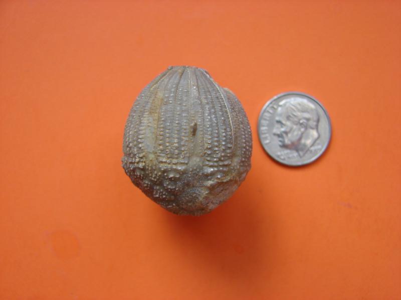 Eucalyptocrinites elrodi