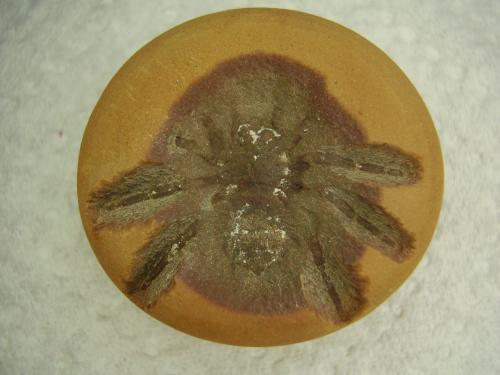 Mazon Creek spider   Found 4-5-14 (1) - Copy