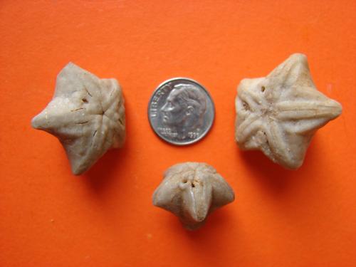 Orophocrinus stelliformis
