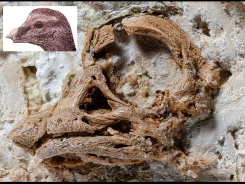 2020_aug28_dinoskull