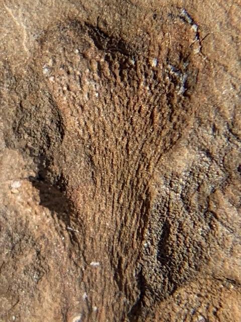 Kankakeeagrundyi1