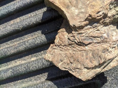 9. Valerie Anderson fossils  Caulopteris and Lepidostrobus  10-9-21